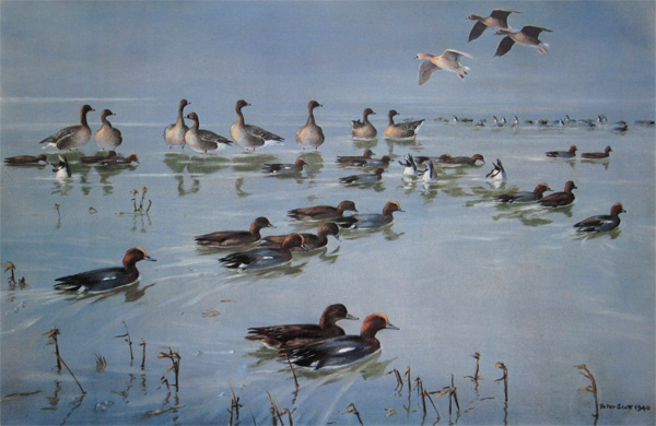 Sir Peter Markham Scott: Pinkfeet, Wigeon, Albino Goose. River Ribble