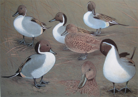 Sir Peter Scott: Pintail