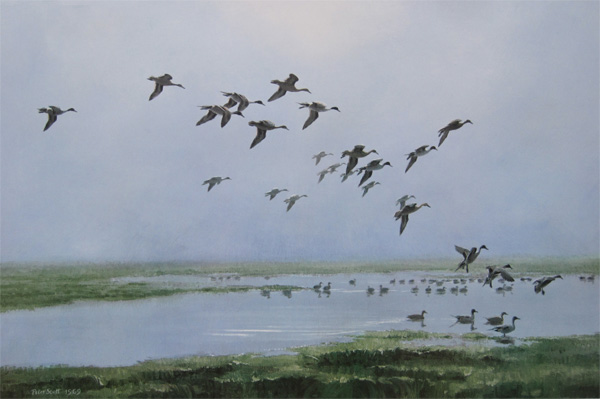 Sir Peter Markham Scott: Pintails On A Hazy Day